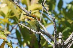 Abeja-comedor del arco iris, Australia Foto de archivo libre de regalías