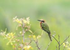 Abeja-comedor en arbusto seco Fotos de archivo libres de regalías
