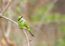 Abeja-comedor en el bosque de Jhirna Foto de archivo libre de regalías