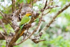 Abeja-comedor en el parque nacional Yala Foto de archivo libre de regalías