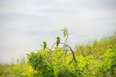 Abeja-comedor en el parque nacional Yala Imágenes de archivo libres de regalías