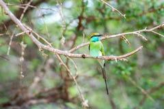 Abeja-comedor en el parque nacional Yala Fotografía de archivo libre de regalías