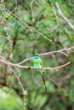 Abeja-comedor en el parque nacional Yala Fotografía de archivo