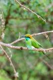 Abeja-comedor en el parque nacional Yala Imagenes de archivo