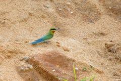 Abeja-comedor en la playa de la arena Foto de archivo