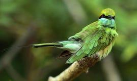 Abeja-comedor en la rama El abeja-comedor verde Orientalis del Merops Fotografía de archivo