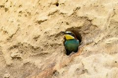 Abeja-comedor en oasis natural Imagen de archivo libre de regalías