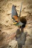 Abeja-comedor en oasis natural Imagenes de archivo
