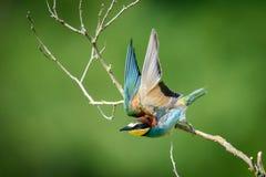 Abeja-comedor en oasis natural Imágenes de archivo libres de regalías