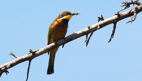 Abeja-comedor en rama con el insecto en pico Fotografía de archivo libre de regalías