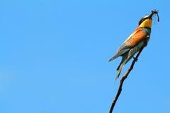 Abeja-comedor en una rama Foto de archivo libre de regalías