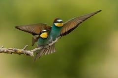 Abeja-comedor europeo (apiaster del Merops) Fotos de archivo libres de regalías
