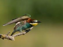 Abeja-comedor europeo (apiaster del Merops) Fotografía de archivo libre de regalías