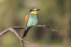 Abeja-comedor europeo - apiaster del Merops - en una rama por la mañana Fotos de archivo libres de regalías