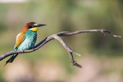 Abeja-comedor europeo - apiaster del Merops - en una rama por la mañana Imagen de archivo