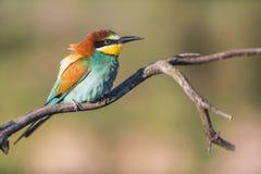 Abeja-comedor europeo - apiaster del Merops - en una rama por la mañana Fotografía de archivo libre de regalías