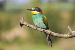 Abeja-comedor europeo - apiaster del Merops - en una rama por la mañana Imágenes de archivo libres de regalías