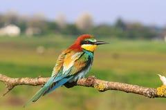 Abeja-comedor europeo coloreado del pájaro que se sienta en un fondo de la rama del prado Imagen de archivo libre de regalías