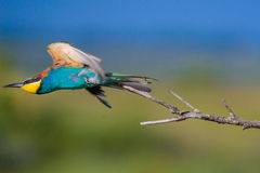 Abeja-comedor europeo con las alas extendidas Imágenes de archivo libres de regalías