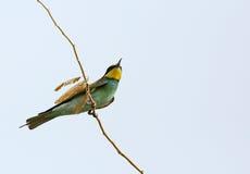 Abeja-comedor europeo en la rama contra el cielo azul Imágenes de archivo libres de regalías
