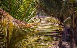 Abeja-comedor europeo en la rama de la palma Foto de archivo