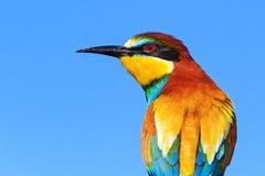 Abeja-comedor europeo en plumaje de la primavera Fotos de archivo libres de regalías