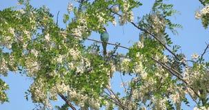 Abeja-comedor europeo encaramado en un palillo y la mirada alrededor con el fondo limpio del cielo azul en un d?a de verano solea metrajes