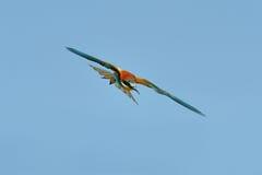 Abeja-comedor europeo (Merops Apiaster) al aire libre Foto de archivo