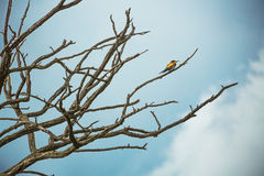 Abeja-comedor europeo (Merops Apiaster) en hábitat natural Fotos de archivo libres de regalías