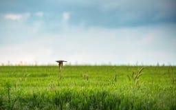 Abeja-comedor europeo (Merops Apiaster) en hábitat natural Imagenes de archivo