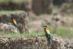 Abeja-comedor europeo, pájaro hermoso que se sienta en la tierra Imagen de archivo libre de regalías