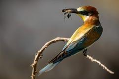 Abeja-comedor europeo que se sienta en una rama con la presa en pico Imagenes de archivo