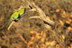 Abeja-comedor, - fondo salvaje africano del pájaro - par colorido Trago-atado Imagen de archivo libre de regalías