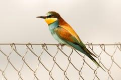 Abeja-comedor hermoso Fotografía de archivo libre de regalías