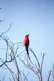 Abeja-comedor meridional del carmín - delta de Okavango - Moremi N P Foto de archivo libre de regalías