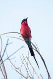 Abeja-comedor meridional del carmín - delta de Okavango - Moremi N P Imagen de archivo libre de regalías
