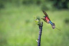 Abeja-comedor meridional del carmín en el parque nacional de Kruger, Suráfrica Imagen de archivo libre de regalías