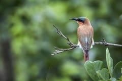 Abeja-comedor meridional del carmín en el parque nacional de Kruger, Suráfrica Fotos de archivo libres de regalías