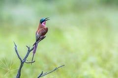 Abeja-comedor meridional del carmín en el parque nacional de Kruger, Suráfrica Fotografía de archivo