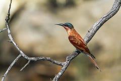 Abeja-comedor meridional del carmín en el parque nacional de Mapungubwe, Af del sur Fotografía de archivo