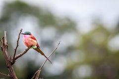 Abeja-comedor meridional del carmín en una rama Fotografía de archivo libre de regalías
