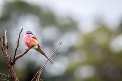 Abeja-comedor meridional del carmín en una rama Foto de archivo