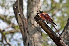 Abeja-comedor meridional del carmín (nubcoides del Merops) Imagenes de archivo