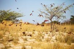 Abeja-comedor meridional del carmín, nubicoides del Merops a la jerarquía en el río Okavango Imagen de archivo libre de regalías