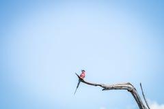 Abeja-comedor meridional del carmín que se sienta en una rama Foto de archivo