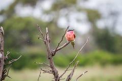 Abeja-comedor meridional del carmín que se sienta en una rama Fotos de archivo libres de regalías