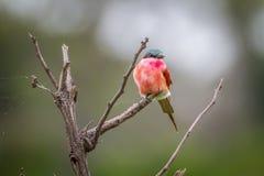 Abeja-comedor meridional del carmín que se sienta en una rama Fotografía de archivo