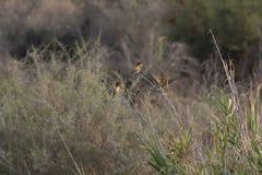 Abeja-comedor, Meropidae que descansa en un arbusto y en vuelo sobre un jardín en Chipre Foto de archivo libre de regalías