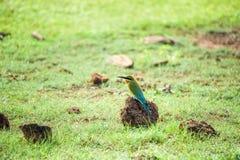 Abeja-comedor o philippinus Azul-atado del Merops Foto de archivo libre de regalías
