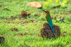 Abeja-comedor o philippinus Azul-atado del Merops Imágenes de archivo libres de regalías